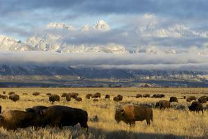 As the Clouds Clear Off the Grand Tetons, a Herd of Bison Graze in a Large Meadow by Barrett Hedges