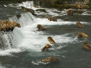 Many Brown Bears Congregated to Feed on Salmon by Barrett Hedges