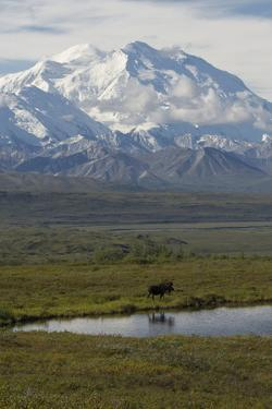 Mount Mckinley Looms over a Bull Moose, Alces Alces, Standing Next to a Pond by Barrett Hedges