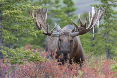 The Antlers of a Bull Moose, Alces Alces, Begin to Shed their Velvet by Barrett Hedges