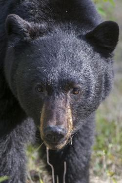 The Face of a Male Black Bear, Ursus Americanus, Coming Close by Barrett Hedges
