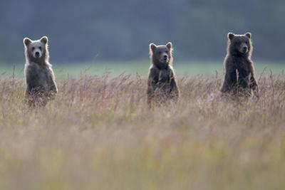 Three Brown Bear Spring Cubs Standing Together for a Better View by Barrett Hedges