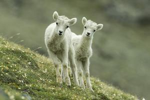 Two Dall's Sheep Lambs Walk on a High Meadow by Barrett Hedges