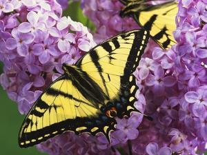 A Canadian Tiger Swallowtail Butterfly (Papilio Canadensis) in the Maritimes, Newfoundland and Labr by Barrett & Mackay
