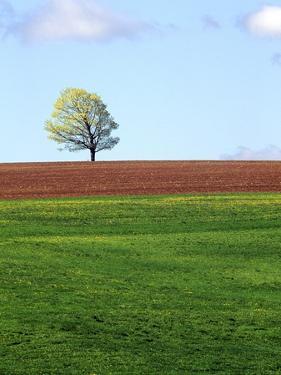 Lone Tree Blowing in Wind Near Sussex, New Brunswick, Canada. by Barrett & Mackay