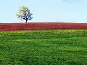Lone Tree in Spring Field Near Sussex, New Brunswick, Canada. by Barrett & Mackay