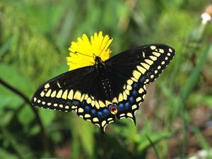 Short-tailed Black Swallowtail Butterfly (Papilio Brevicauda) Feeding on Common Dandelion, Prince E by Barrett & Mackay