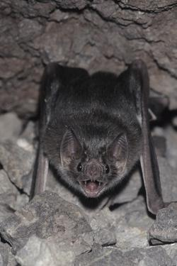 Common Vampire Bat (Desmodus Rotundus) at Roost, Sonora, Mexico by Barry Mansell