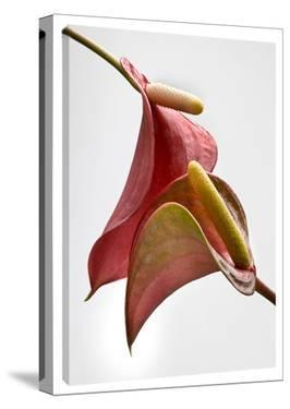 Anthurium 2 on White by Barry Seidman