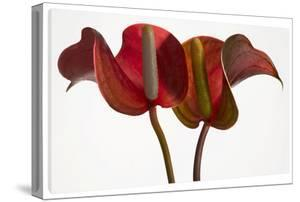 Anthurium on White by Barry Seidman