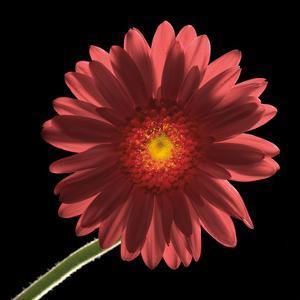 Gerber Daisy 1 by Barry Seidman