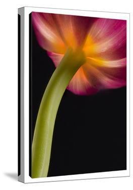 Glowing Tulip by Barry Seidman
