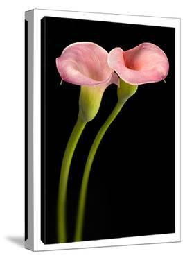 Pink Calla Lilies by Barry Seidman