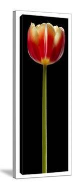Tall Orange Tulip by Barry Seidman