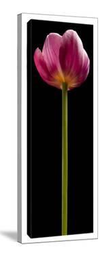 Tall Purple Tulip by Barry Seidman