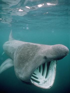 Basking Shark Mouth Open