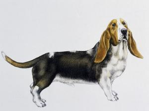 Basset Hound (Canis Lupus), Canidae, Drawing