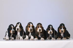 Basset Hound Puppies X6