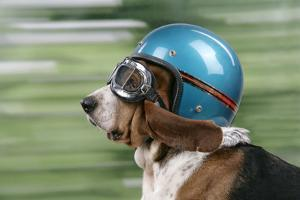 Basset Hound Wearing Goggles and Helmet