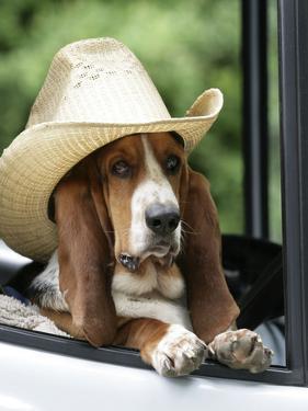 Basset Hound Wearing Hat in Van