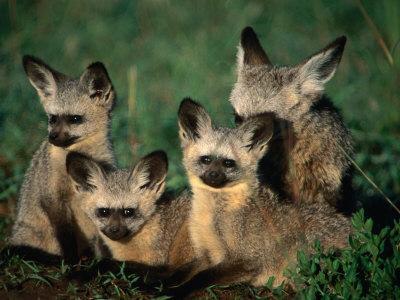 https://imgc.allpostersimages.com/img/posters/bat-eared-fox-pups-octocyon-megalotis-in-their-den-serengeti-national-park-tanzania_u-L-P4CFLJ0.jpg?p=0