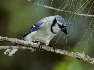A Blue Jay, Cyanocitta Cristata, Perched on a Pine Tree Branch by Bates Littlehales