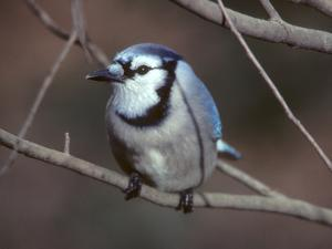 A Blue Jay, Cyanocitta Cristata, Perched on a Tree Branch by Bates Littlehales