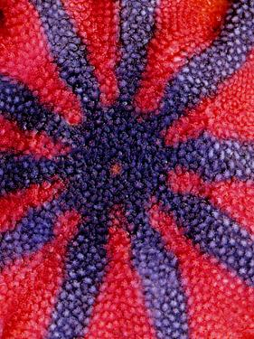 A Close Up of a Sun Star, Solaster Stimsoni by Bates Littlehales