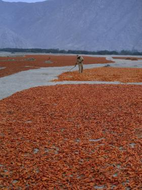 A Farmer Turns His Crop of Peppers to Ensure Even Drying and Curing by Bates Littlehales