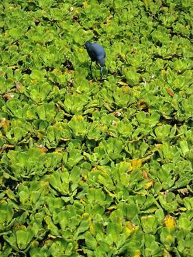 A Little Blue Heron, Egretta Caerulea, Hunts Among Water Lettuce by Bates Littlehales