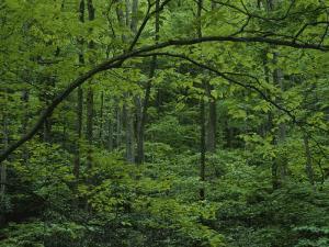 A Lush Green Eastern Woodland View by Bates Littlehales