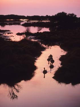 A Marsh at Dawn with Canada Geese, Branta Canadensis by Bates Littlehales