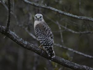A Red-Shouldered Hawk Sits on a Tree Branch by Bates Littlehales