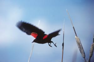 A Red-winged Blackbird, Agelaius Phoeniceus, in Cattails by Bates Littlehales