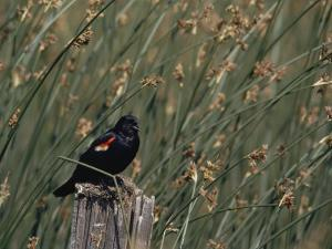 A Red-Winged Blackbird Sits on a Post Amid Tall Grasses by Bates Littlehales