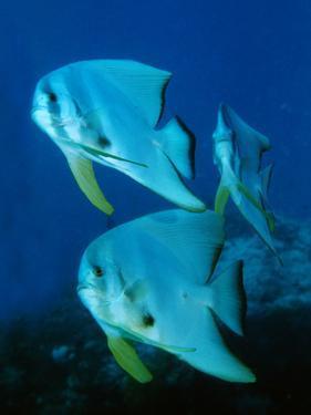 A School of Longfin Spadefish, Platax Teira by Bates Littlehales