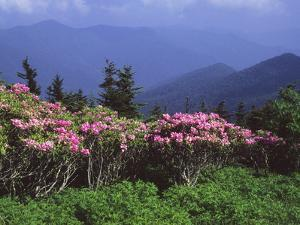 A Stand of Rhododendron in Bloom on Mount Mitchell by Bates Littlehales