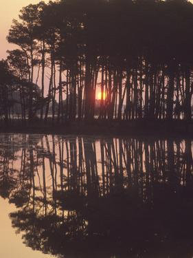 A Sunrise Seen Through Silhouetted Loblolly Pine Trees, Pinus Taeda by Bates Littlehales