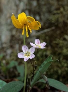 A Trout Lily Growing Beside Spring Beauty Flowers by Bates Littlehales