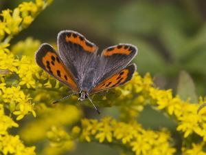 An American Copper Butterfly, Lycaena Phlaeas, on Goldenrod by Bates Littlehales