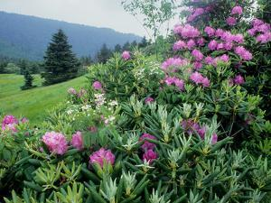 Catawba Rhododendron Shrubs in Bloom by Bates Littlehales