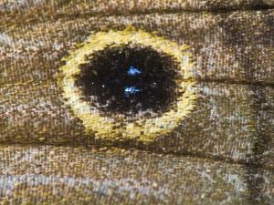 Close Up of the Scales and Eyespot on a Satyr Butterfly's Wing by Bates Littlehales