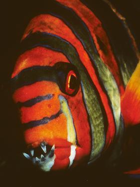 Close Up Portrait of a Harlequin Tuskfish, Choerodon Fasciatus by Bates Littlehales