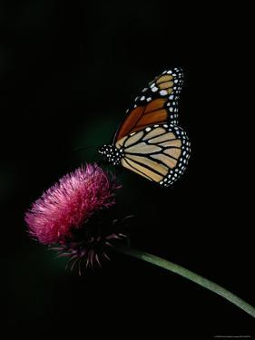 Monarch Butterfly on a Nodding Thistle Flower by Bates Littlehales