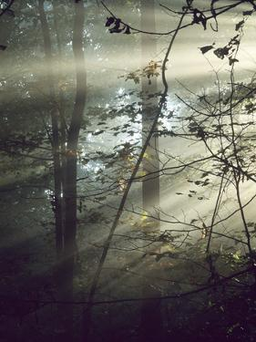 Sunlight Streaming Through Morning Fog in a Forest by Bates Littlehales