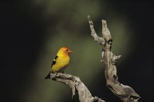 Western Tanager Perches on a Gnarled Dead Branch by Bates Littlehales