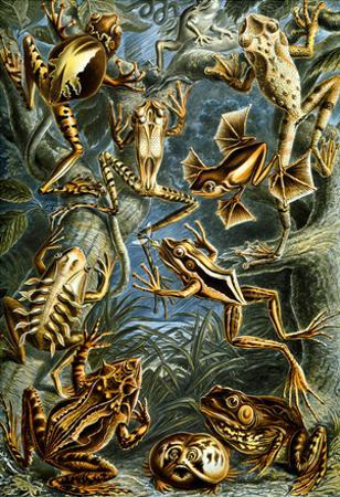 Batrachia Nature Art Print Poster by Ernst Haeckel
