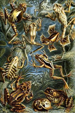 Batrachia Nature by Ernst Haeckel