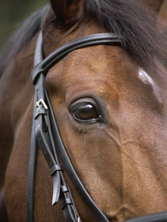 Bay Horse in Bridle