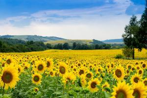 Sunflower Field by bazyuk